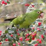 Cherry-headed Conure