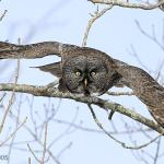 Melanistic Great Gray Owl