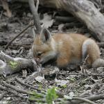 Fox kit eating Gray Squirrel